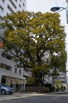 Camphor tree in hong c5 8d 2c tokyo 201504 01 1528094147