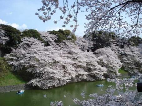 Chidorigafuchi sakura 1528097246